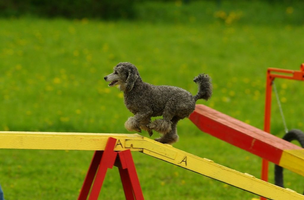 Could Your Dog Benefit from Agility Training?